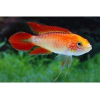 Apistogramma agassizii  var. Fire Red M - Fire-Red Agassizii M 3-4cm