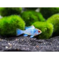Mikrogeophagus ramirezi Electric Blue - Schmetterlingsbuntbarsch 3,5-4 cm
