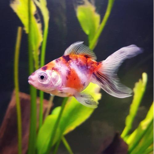 Schleierschwanze calico oranda 4 5cm zooshop for Gartenteichfische shop