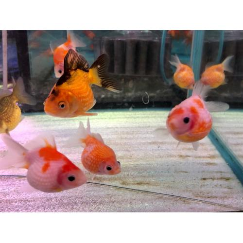 Schleierschwanze mix oranda 5cm zooshop for Gartenteichfische shop